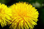Dandelion on a Spring sunny day — Stock Photo