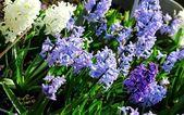 Plantation de crocus blancs et lilas — Photo