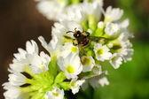 Včela na jarní květ — Stock fotografie