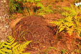 A big ant hill in the woods — Stock Photo