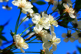 Nice white flowers and the blue sky — Stock Photo