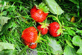 Some strawberries on the grass — Stock Photo