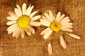 Two camomile flowers on the linen cloth — Stock Photo