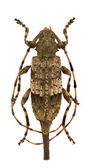 Acanthocinus reticulatus — Foto de Stock