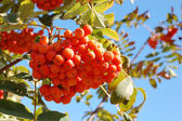 Bunch of european rowan on tree — Stock Photo