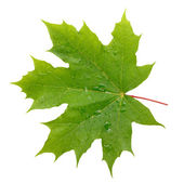 Maple green leaf with water drops isolated on white background — Stock Photo