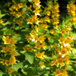 Royalty-Free Stock Photo: Yellow loosestrife, Lysimachia punctata