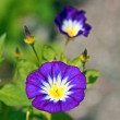 Blue, garden flowers — Foto Stock