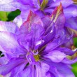 Beautiful clematis close up — Lizenzfreies Foto