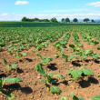 Brussels sprouts field - Stockfoto