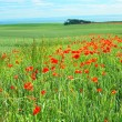 Fields of poppies, Scotland — Stockfoto