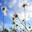 Beautiful marguerites in Summer time — Stock Photo #6365996