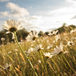 Stock Photo: Beautiful marguerites in Summer time