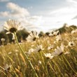 Beautiful marguerites in Summer time — Stock Photo