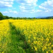 Stock Photo: Rape field in Spring time