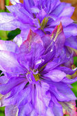 Beautiful clematis close up — Stock Photo