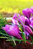 Azafranes hermosas cerrar — Foto de Stock