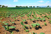 Brussels sprouts field — Stock Photo