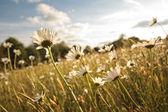 Krásný kopretinami v letním období — Stock fotografie