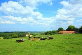 Hermosos paisajes con vacas y colinas — Foto de Stock