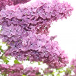 Lilac flowers close up - Stock Photo