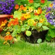 Blooming nasturtium and lobelia flowers — Stock Photo