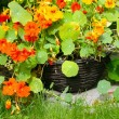 Blooming nasturtium in the garden — Stock Photo #6407101