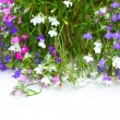 Lobelia flowers on white background — Stockfoto