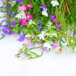 Lobelia flowers on white background — 图库照片
