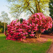 Beautiful, old park with azalea trees — Stock Photo