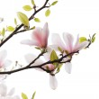 Beautiful magnolia flowers isolated on white — Stock Photo
