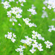 white wildflowers in springtime — Stock Photo