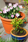 Garden flowers in the pots — Stock Photo
