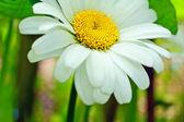 Daisy in the garden close up — Stock Photo