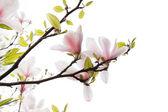 Krásná magnólie květiny izolované na bílém — Stock fotografie