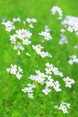 White wildflowers in springtime — Stock Photo