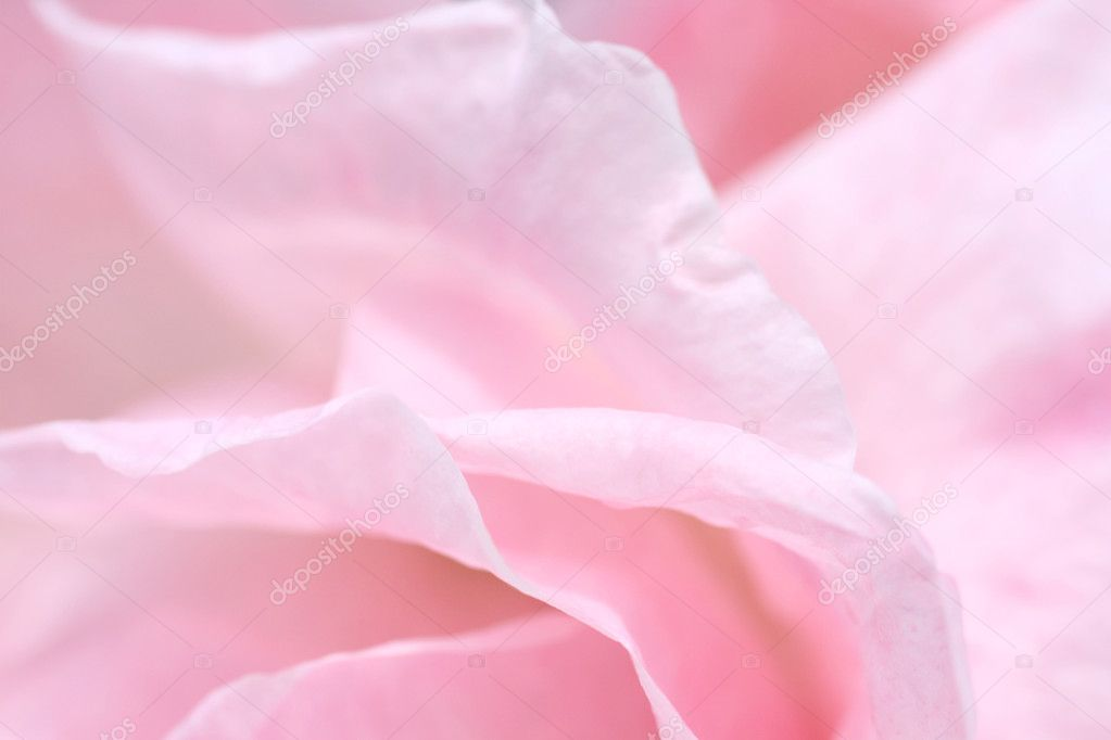 Lovely pink rose petals closeup  Stock Photo #6407345