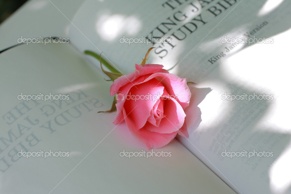 Lovely pink rose closeup — Stock Photo #6407463