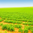 Field of growing potatoes — Stockfoto