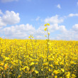 Beautiful rape fields close up — Stockfoto