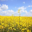 Beautiful rape fields close up — Foto Stock