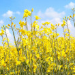 Beautiful rape fields close up — Foto de Stock