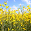 Beautiful rape fields close up against blue sky — Stock Photo