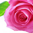 Beautiful pink rose close up — Stock Photo