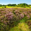 Fields of heather - Stock Photo