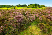 Fields of heather — Stock Photo