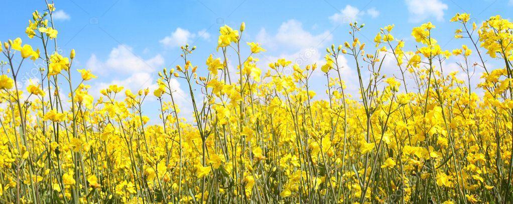 Beautiful rape fields close up against blue sky — Stock Photo #6424069