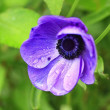 Blue anemone and drops of rain — Foto Stock