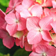 Lovely pink hortensia close up - Stockfoto