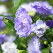 Pretty blue flowers - Stockfoto